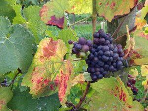 Grapes at Denbies Vineyard Dorking